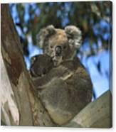 Koala Phascolarctos Cinereus Mother Canvas Print
