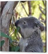 Koala Time Canvas Print