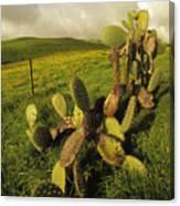 Kohala Cactus Canvas Print