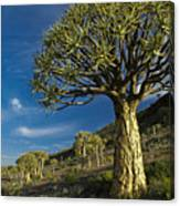 Kokerboom Canvas Print