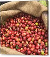 Kona Coffee Bean Harvest Canvas Print