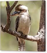 Kookaburra Sits In The Ol Gum Tree Canvas Print
