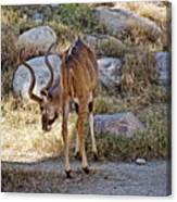 Kudu Near A Waterhole In Living Desert Zoo And Gardens In Palm Desert-california  Canvas Print
