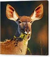 Kudu Portrait Eating Green Leaves Canvas Print