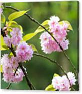 Kwanzan Cherry Bossom Flowers Canvas Print