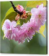 Kwanzan Cherry Bossom Flowers Macro Canvas Print