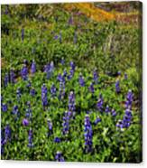 La Jolla Canyon Lupines Canvas Print
