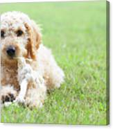 Labradoodle Puppy In Grass Canvas Print