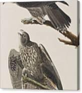 Labrador Falcon Canvas Print