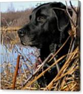 Labrador Retriever Waiting In Blind Canvas Print