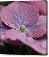 Lace Cap Hydrangea  Canvas Print