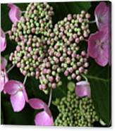 Lacecap Hydrangea Macro Canvas Print