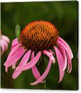 Lacewing On Echinacea Blossom Canvas Print