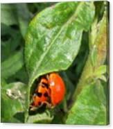 Lady Bugs Canvas Print