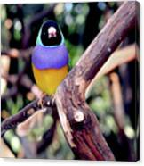 Lady Gouldian Finch Canvas Print