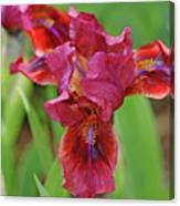 Lady In Red Iris Canvas Print