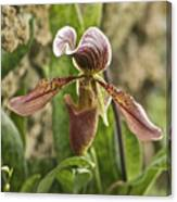 Lady Slipper 2 Canvas Print