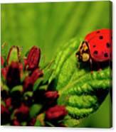 Ladybug Atop A Leaf Canvas Print