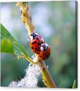 Ladybug Beetles Mating Near Aphids    Spring    Indiana Canvas Print