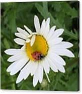 Ladybug On Daisy Canvas Print