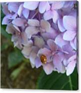 Ladybug On Hydrangea Canvas Print