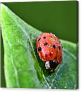 Ladybug With Dew Drops Canvas Print
