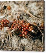 Ladybugs En Masse Canvas Print