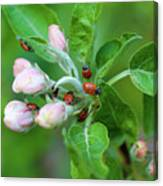 Ladybugs On Apple Blossoms Canvas Print