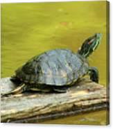 Laidback Turtle Canvas Print