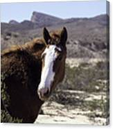 Lake Mead Mustang Canvas Print