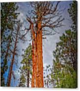 Lake Tahoe Trees On 89  Canvas Print