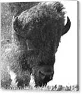 Lamar Valley Bison Black And White Canvas Print