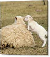 Lamb Jumping On Mom Canvas Print
