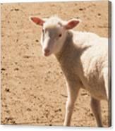 Lamb Looking Cute. Canvas Print