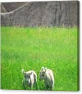 Lambs In A Sea Of Green Canvas Print