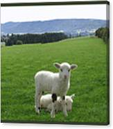 Lambs In Pasture Canvas Print