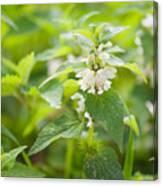 Lamium Album White Flowers Macro Canvas Print