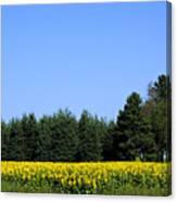 Land Of Sunflowers Canvas Print