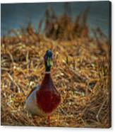 Landed Duck #g2 Canvas Print