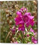 Landing Bumblebee Canvas Print