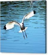 Landing Ibis Canvas Print