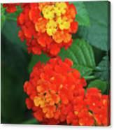 Lantana Bandana Red Flower Canvas Print