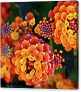 Lantana Blooms Canvas Print