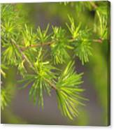 Larch Branch And Foliage Canvas Print
