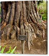 Large Cypress Tree Trunk In Carmel Mission-california  Canvas Print