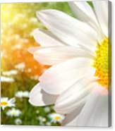 Large Daisy In A Sunlit Field Of Flowers Canvas Print