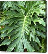 Large Fern Canvas Print