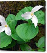 Large Flower Trillium Pair Canvas Print