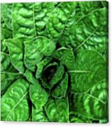Large Green Display Of Concentric Leaves Canvas Print