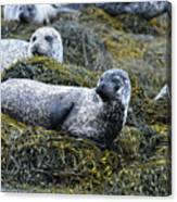 Large Harbor Seal Colony In Scotland Canvas Print